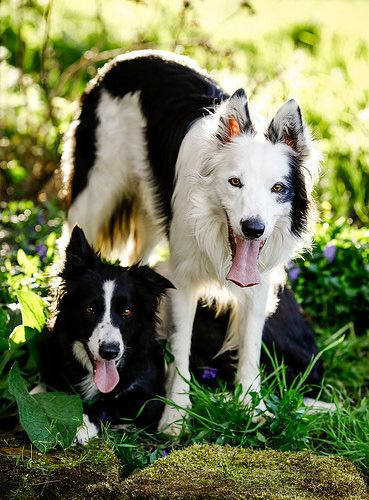 Move In Ready Collie Dog Border Collie Collie