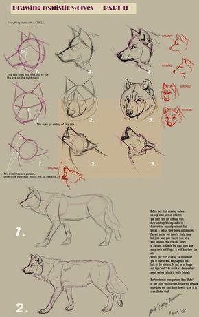 Photo of Wolf drawing in different steps with guidelines