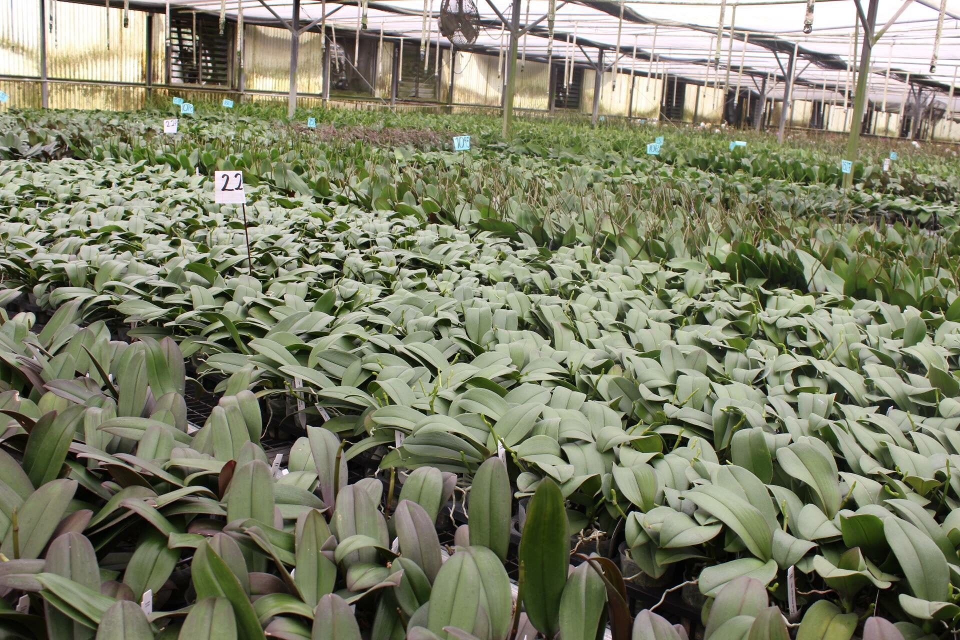 Healthy Green And Growing Bettergroblooms Orchids Phalaenopsis Phalaenopsis Orchids Plants