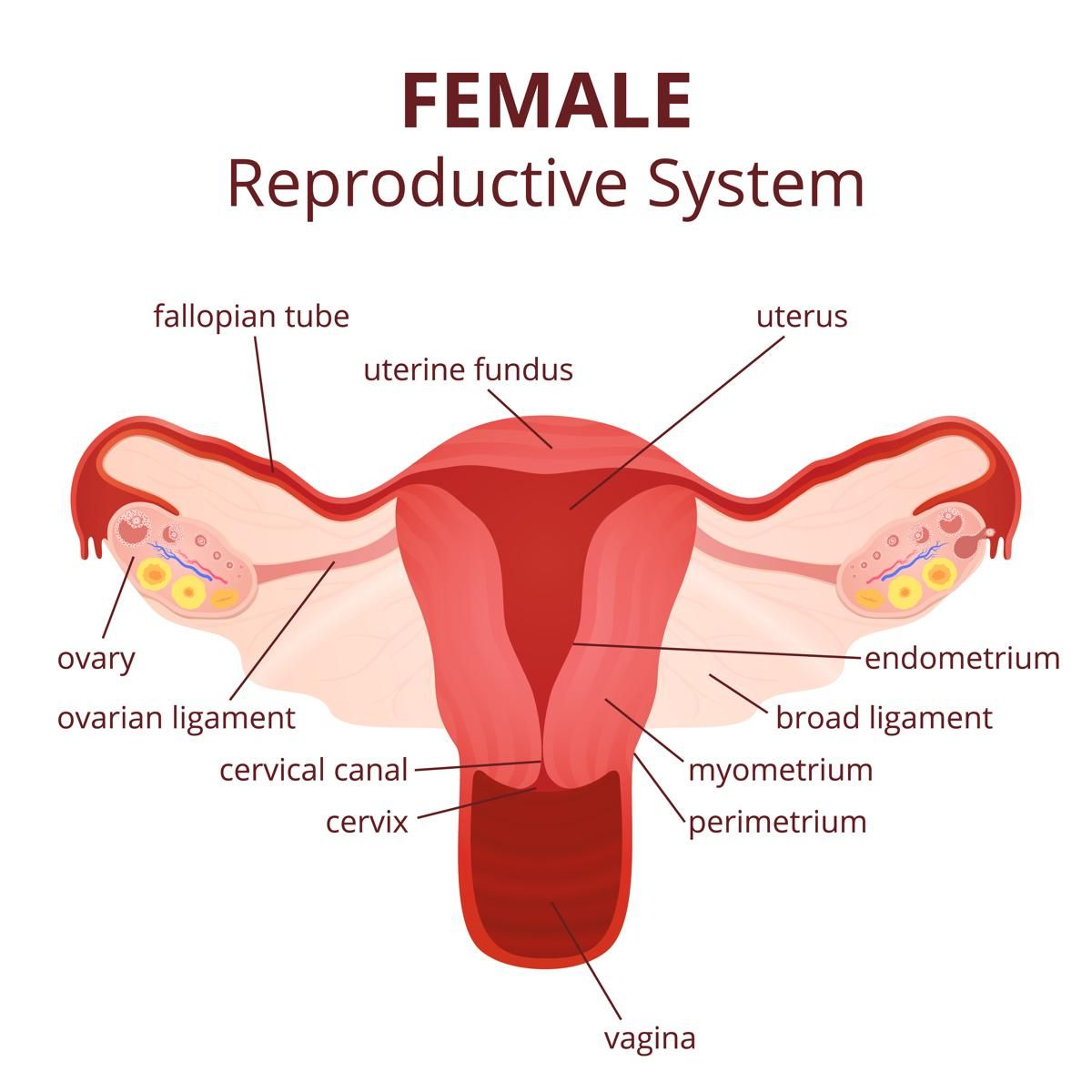 female reproductive system diagram printable diagram [ 1200 x 1200 Pixel ]