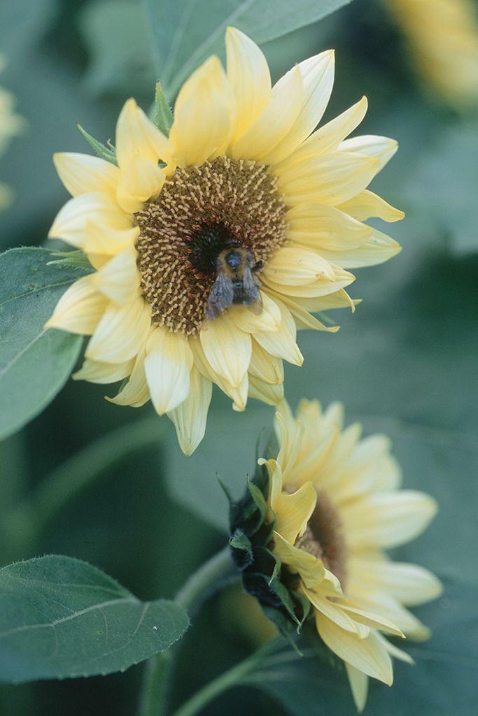 How To Grow Sunflowers Growing Sunflowers Plants Sunflower