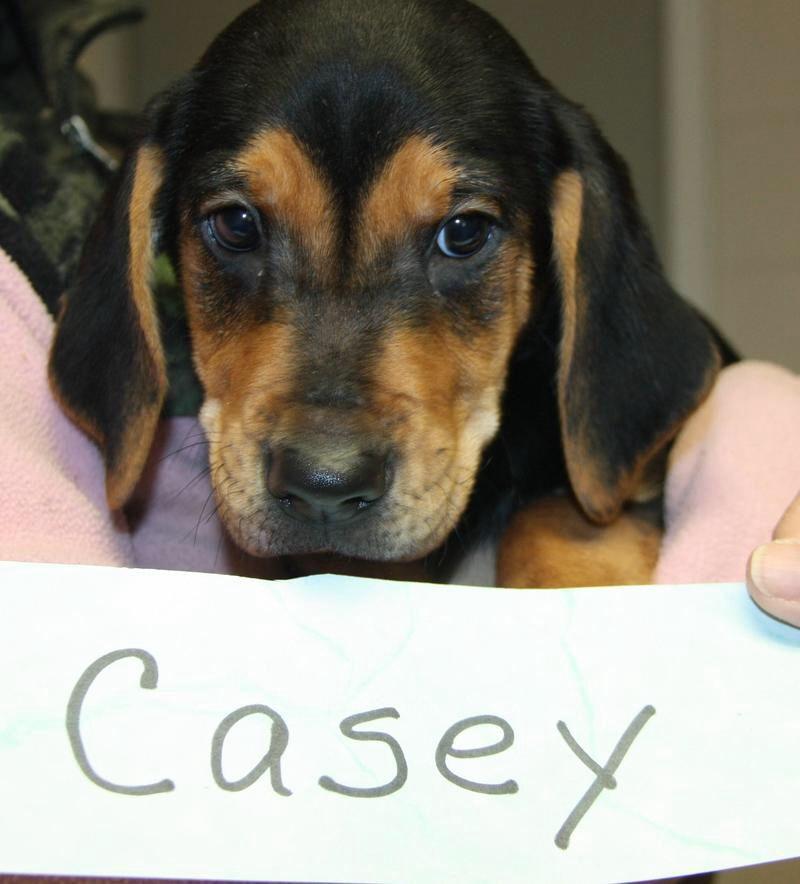 Adopt casey on petfinder bluetick coonhound coonhound pup