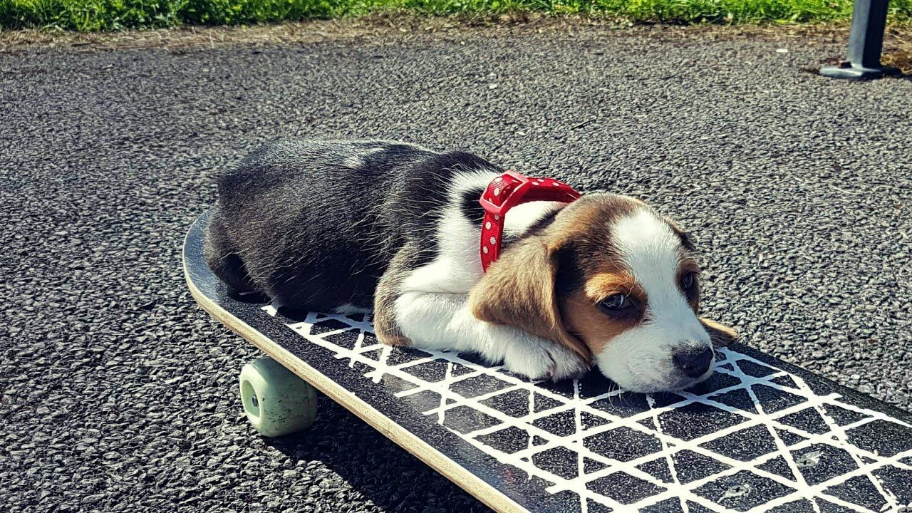 Cute puppy and her first tricks cute Pinterest Beagle Funny