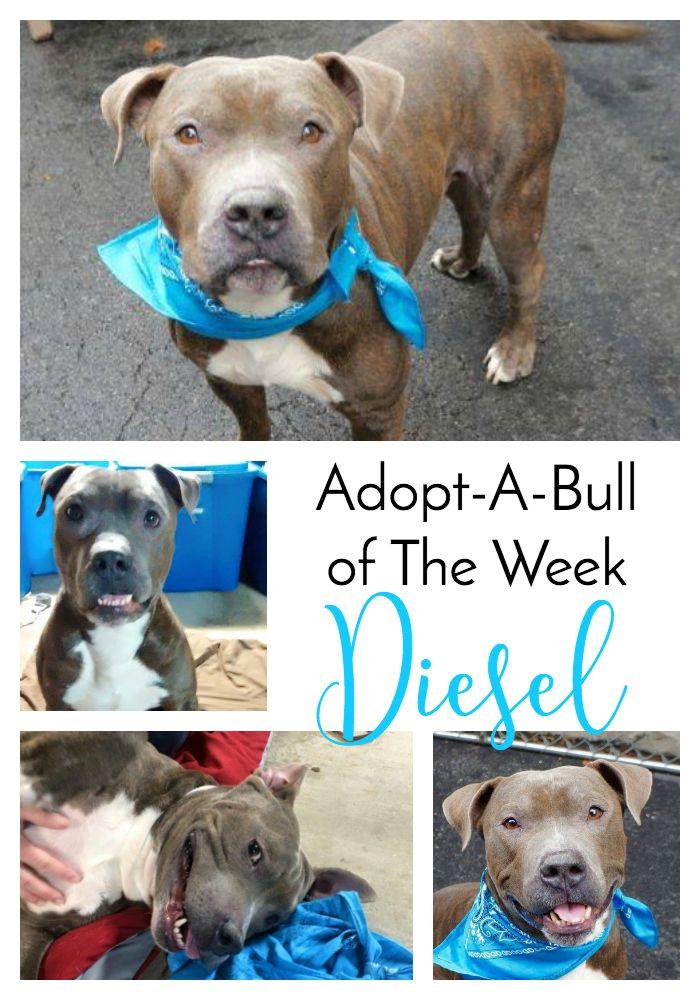 AdoptABull of The Week Diesel http//www