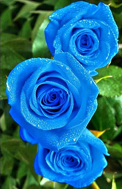 blue rose i would like to know where these come from they are so