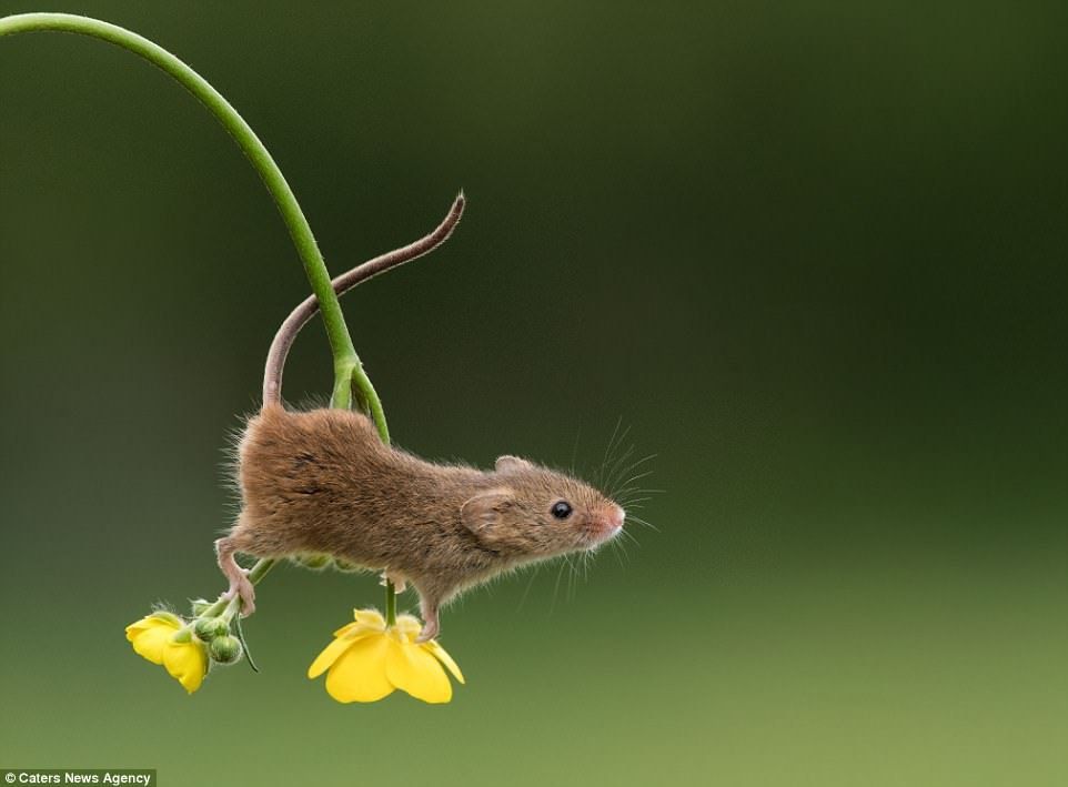 I saw a mouse, where? There on the buttercups!