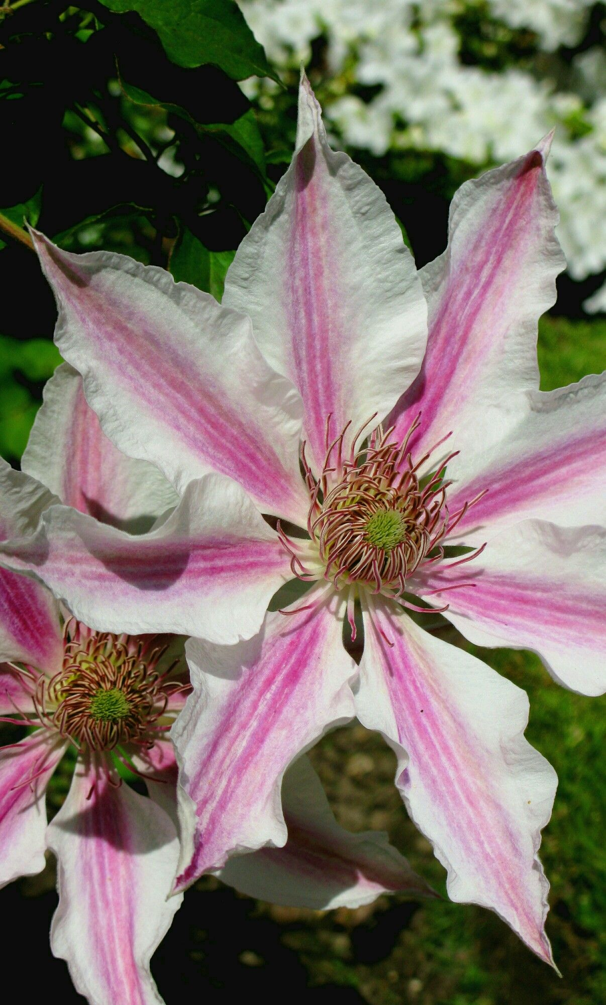 Large flowers of clematis corinne clematis pinterest clematis