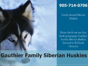 Gauthier Family Siberian Huskies St Catharines Ontario Image 8