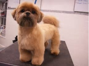 Image Result For Lhasa Apso Haircuts Teddy Bear Shih Tzu Grooming Shih Tzu Puppy Shih Tzu Dog