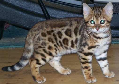 Cute Bengal Kitten Bengal Cat Bengal Cat Kitten