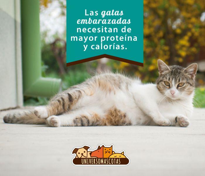 Médicos veterinarios recomiendan alimentar a las gatas gestantes con alimento para cachorros. Más recomendaciones en: http://www.universomascotas.co/bienestar/gatos/como-alimentar-una-gata-embarazada
