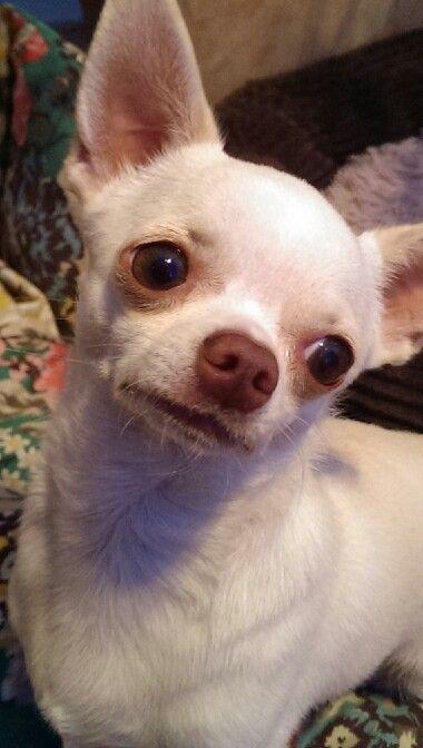 Join Jamie On Facebook Jamie A Little White Chihuahua Cute Chihuahua Chihuahua White Chihuahua