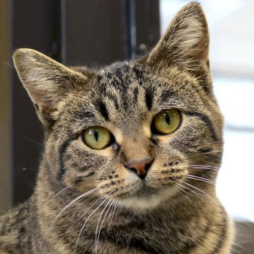 Hi, I'm Avocato! I'm a young female brown tabby Domestic