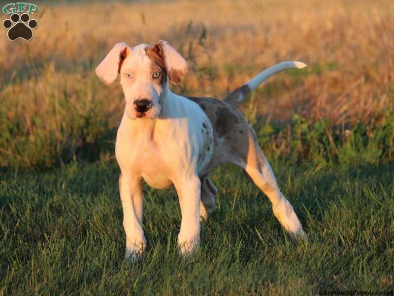 Hoobly Great Dane Puppies Ohio