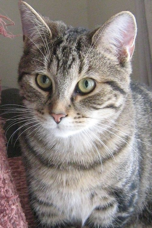 Domestic Shorthair Cat Breed   Domestic Shorthair Cats ...
