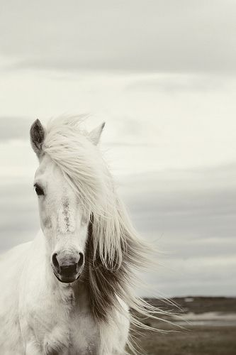vita hästar