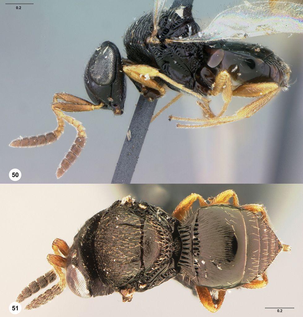 Trissolcus cultratus female lectotype