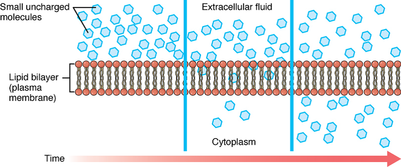 Illustration Of Diffusion Across The Cell Membrane Openstax Anatomy Physiology 2017 Extracellular Fluid Cell Membrane Membrane