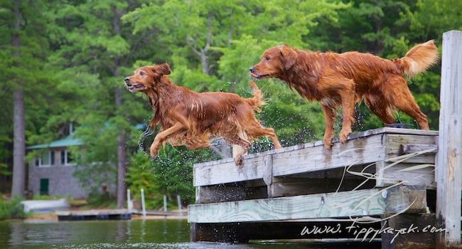 Puppy Limping Golden Retrievers Golden Retriever Dog Forums