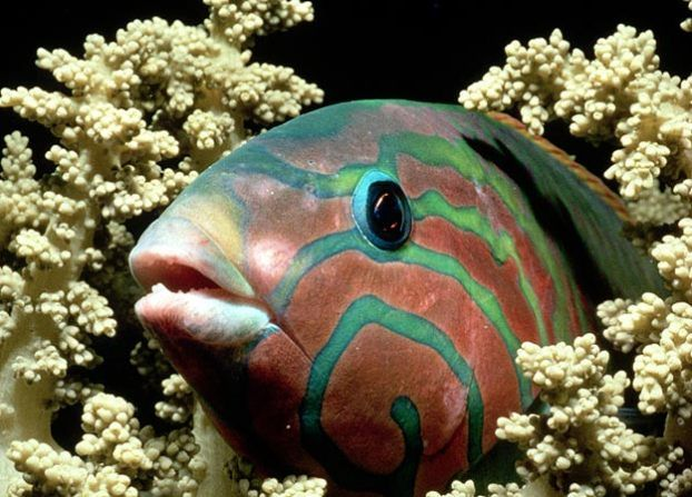 Wrasse With more than 500 species dominating the coral reef, ...