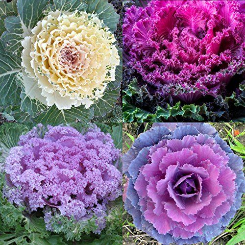 Planting Kale In Pots: Ornamental Kale Plant - How To Grow & Care