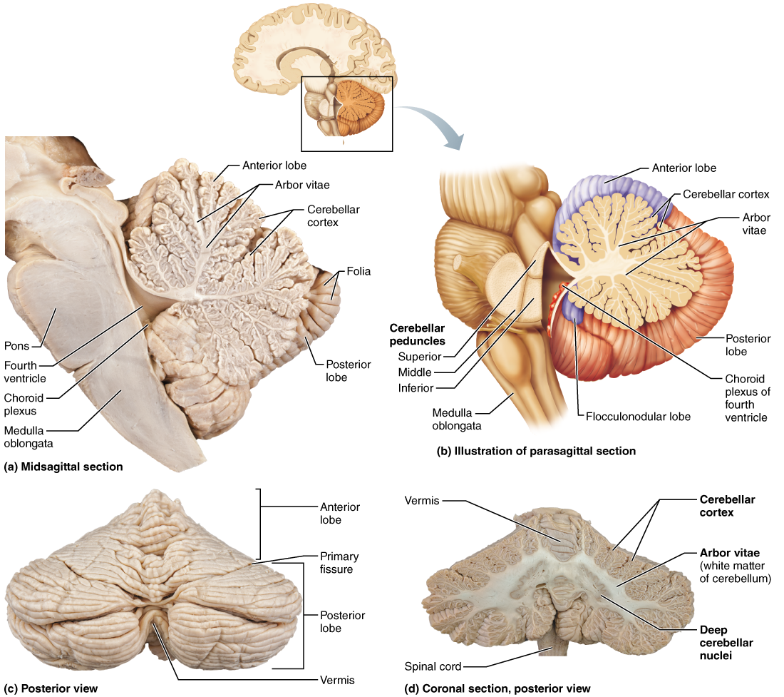 The Brain | Anatomy | Pinterest