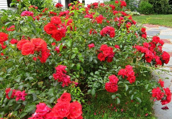 Flower Carpet Scarlet Ground Cover Rose 4l Pot 22 99 Ground Cover Planting Roses Types Of Flowers