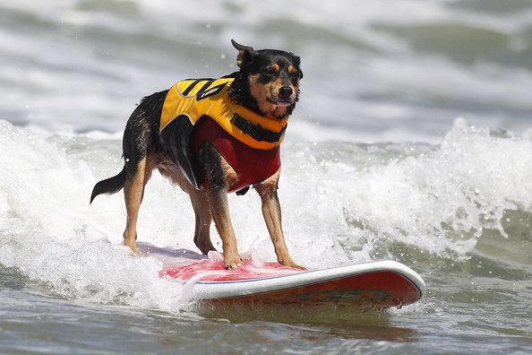 Get A Surfing Kelpie 3 Best Dogs Different Dogs Dog Breeds