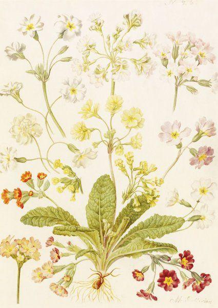 Polyanthus And Primroses   Maria Sibylla Merian   Kew Gardens Botanical  Prints   Kew Botanical Prints