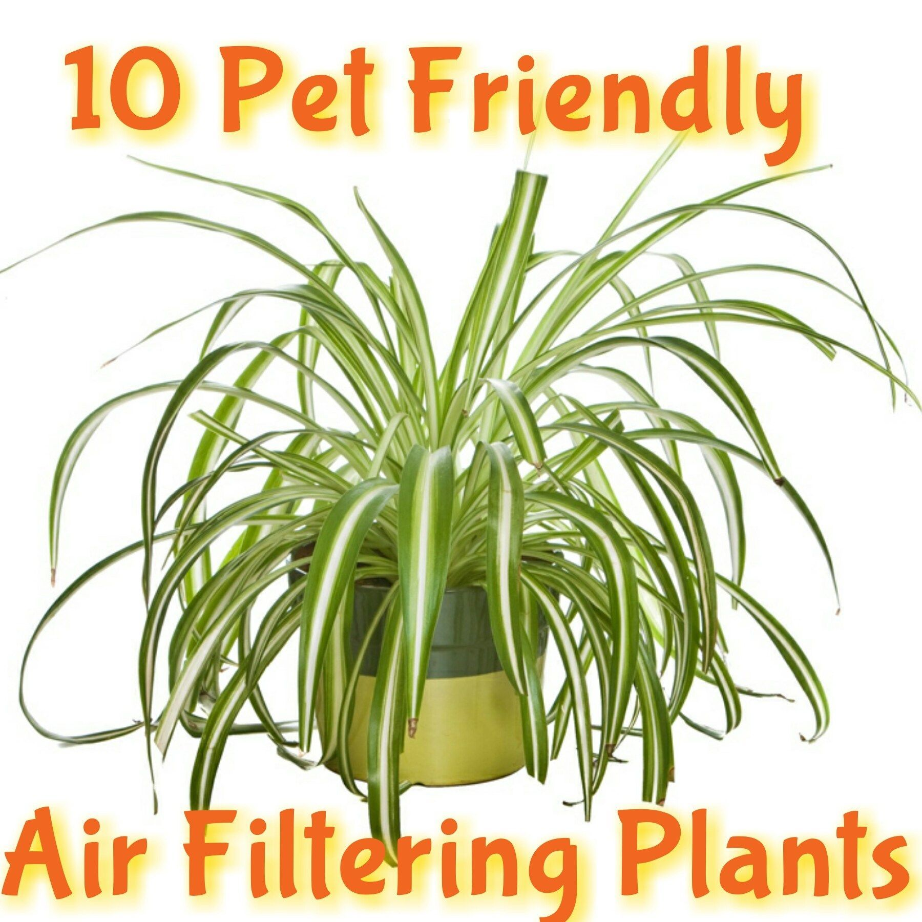 Some Air Filtering Plants Can Be Toxic To Dogs And Cats Find Out Which Ones Can Modern De In 2020 Air Filtering Plants Plants Pet Friendly Low Light House Plants