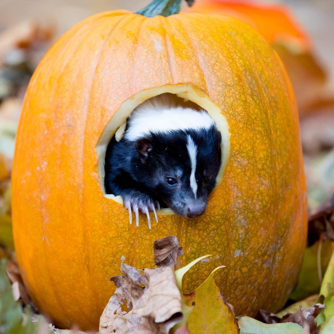Just Harry the skunk in his new pumpkin house. NBD. 🎃