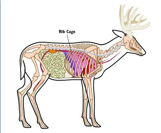 Deer anatomy and shot placement hunting pinterest anatomy deer anatomy and shot placement ccuart Choice Image