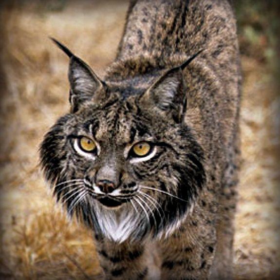 Resultado De Imagem Para Iberian Lynx Tattoo