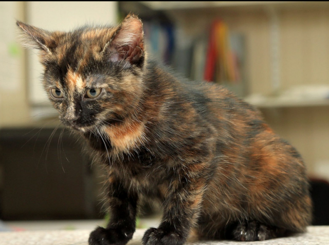 10 Things You Didn T Know About The Tortoiseshell Cat Tortie Kitten Tortoise Shell Cat Tortoise Cat