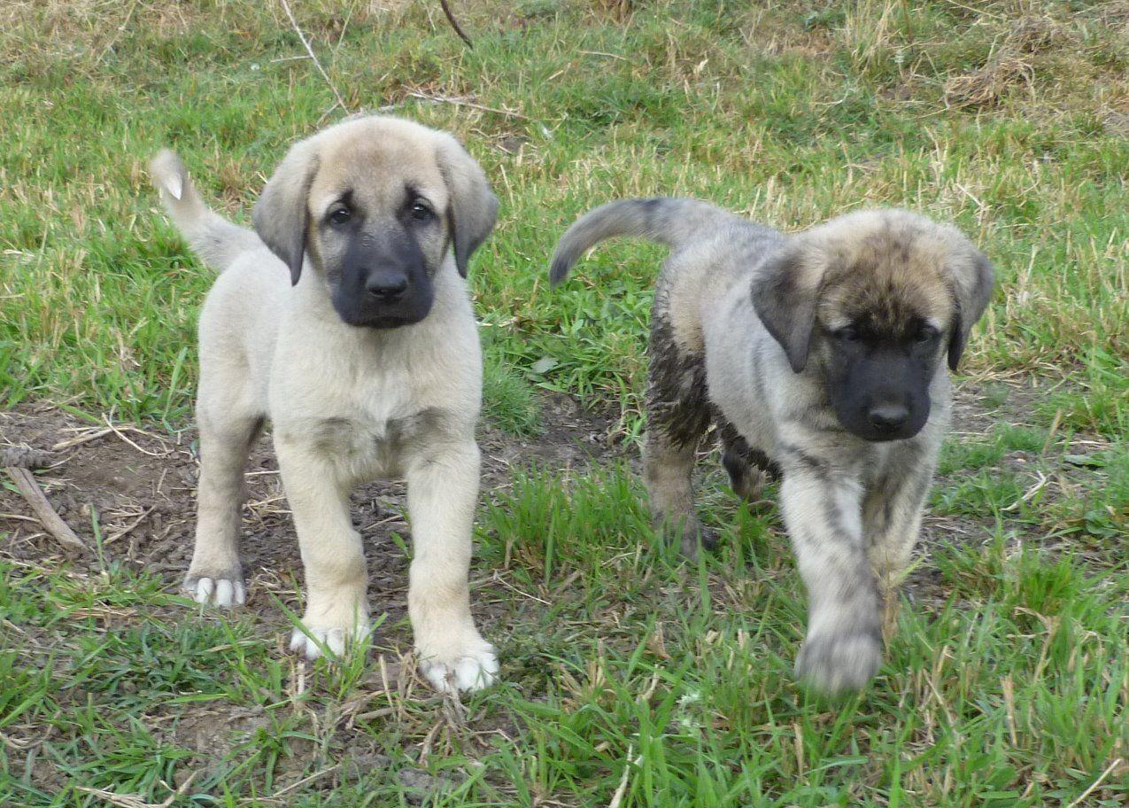 Kangal Shepherd puppy