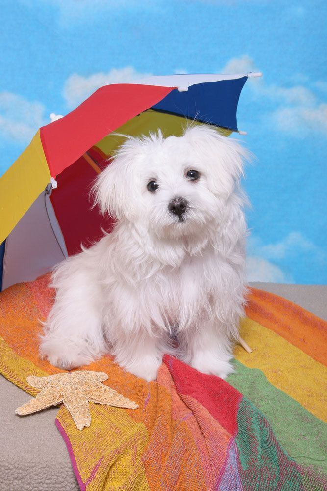 Maltese Names For Your Cute Male Or Female Dog Maltese Dogs