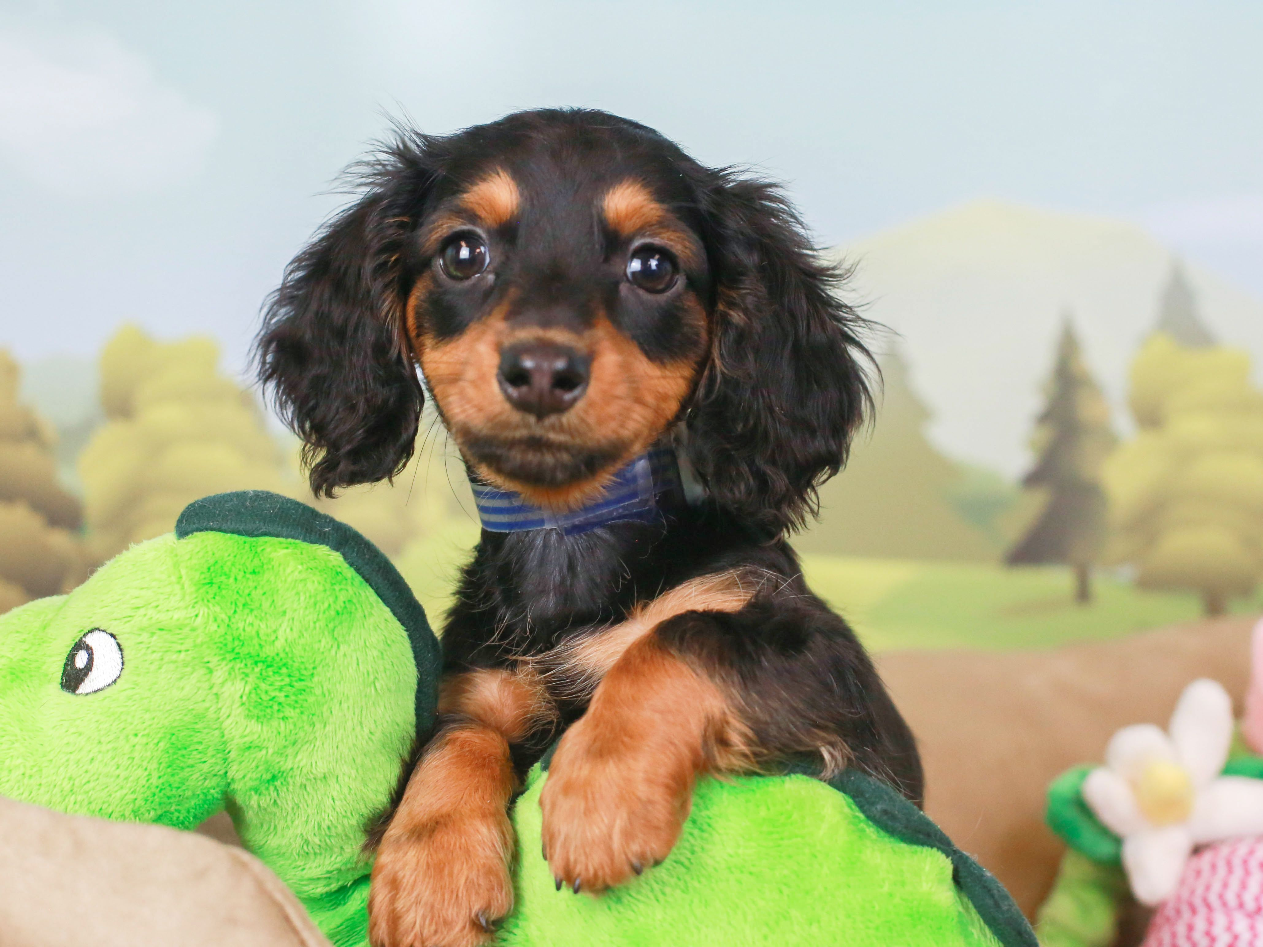 Dachshunds Are The Cutest Puppies In 2020 Puppies Dachshund