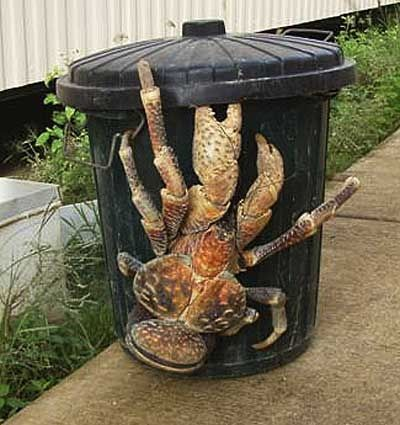 The Coconut Crab (Birgus latro) is the world's biggest land-living arthropod. This is not shopped. This is not a hoax. That is a giant crab on a garbage can. Theyre native to Guam and other Pacific islands. These crabs can crack a coconut in one swipe; but theyre generally too slow to be very dangerous to humans. (Yeah, right!) Children pass lazy afternoons by picking the crabs off tree trunks and watching them crash to the ground; its reportedly great fun. And kind of mess