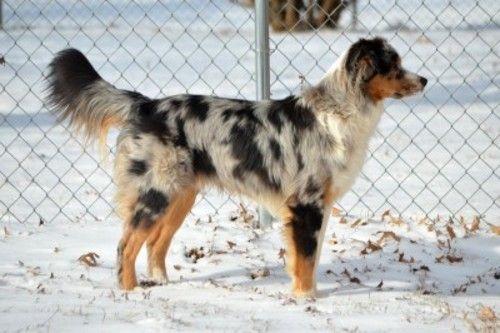 Asrm 0223 Smokey Is An Adoptable Australian Shepherd Dog In St