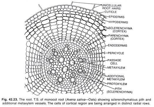 T.S. of Monocot Root | naveen | Pinterest