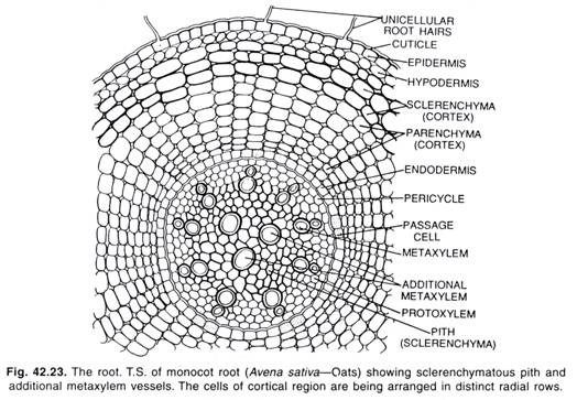 T.S. of Monocot Root | botanical science• | Pinterest | Botany, Life ...