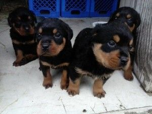 In Arkansas Rottweiler Puppies Puppies Rottweiler Puppies For Sale