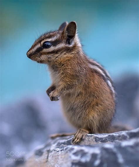 17 Best Ideas About Baby Chipmunk On Pinterest Adorable