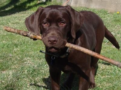 Best Chocolate Brown Adorable Dog - 42a3cceca15d56c92b35e34b2513a616  Pic_62857  .jpg