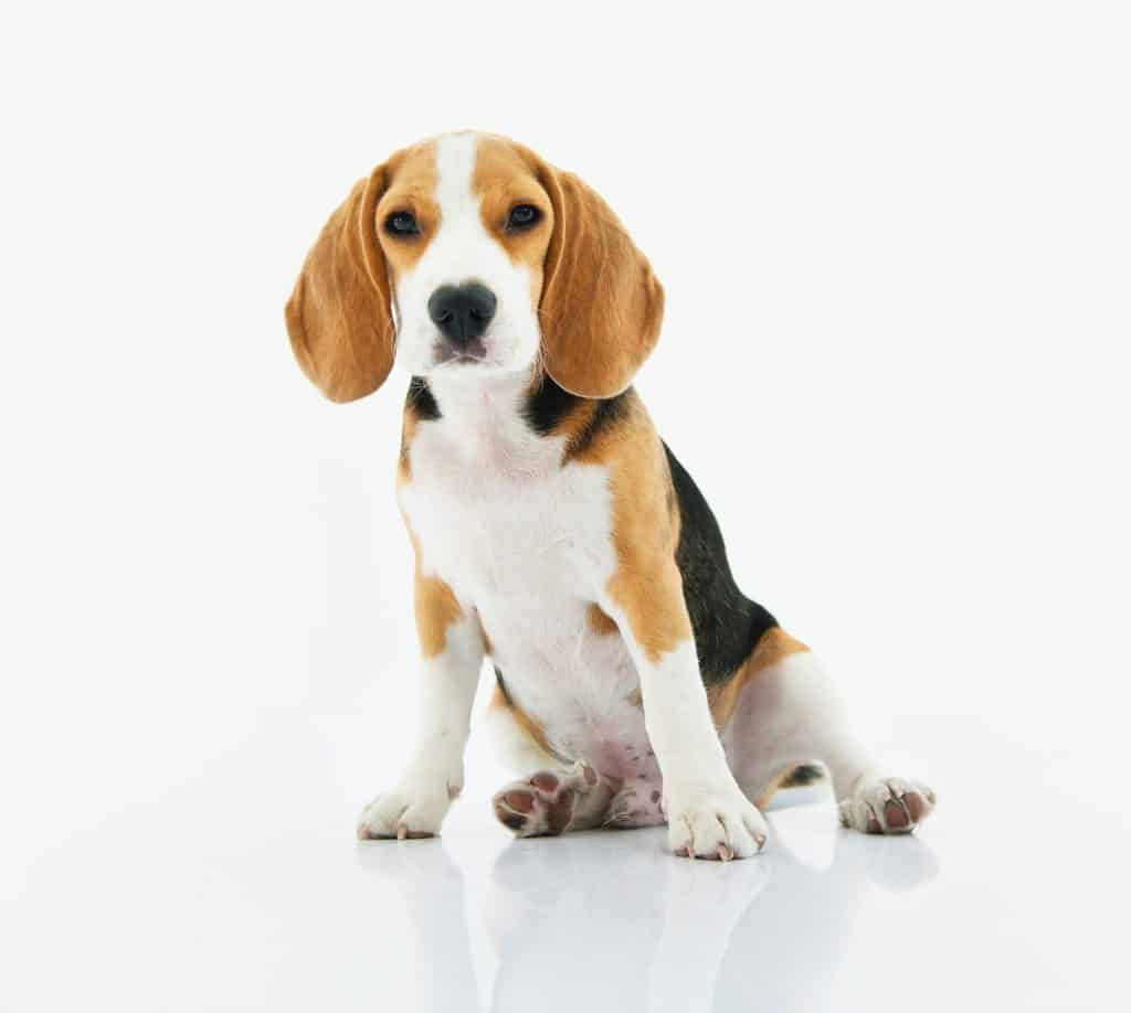 Woofwoofwednesday Dog Friendly Seeds Beagle Dog Dogs Boy Dog