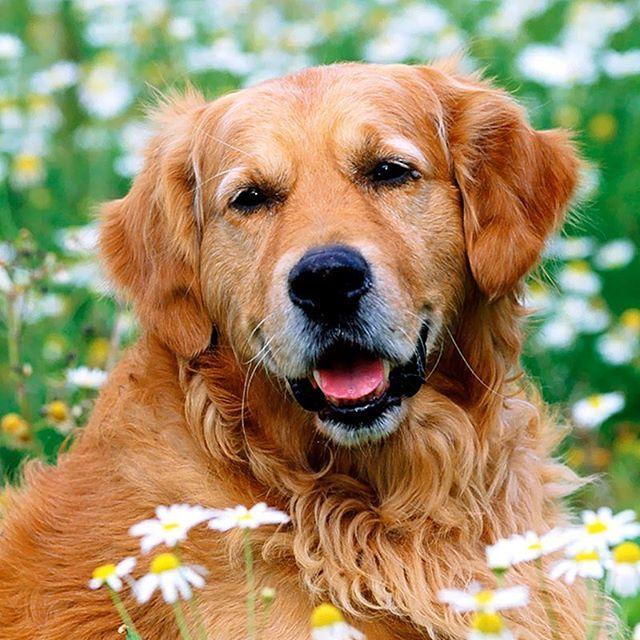 ¿Recuerdas el vídeo que te compartimos el pasado martes? Pues bien, la revista 4 Patas nos cuenta que tristemente por el abandono de muchas personas de sus animales, se fundó un ancianato para perros. Aquí te compartimos una emotiva y reflexiva nota que te hará amar mucho más a tu peludito. http://bit.ly/29fDeO2  www.clinicaveterinariapoblado.com #TipsCVP #AprendeConCVP Imagen vía Pinterest  #ServiciosCVP  #Mascotas #CVP #PetLovers #Pets #Perros #Gatos #Dogs #Cats #Mascotagram #Petstagram…