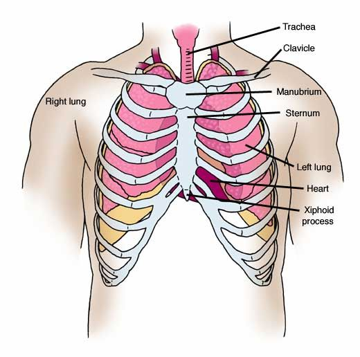 Chest Anatomy Google Search Medical Pinterest Anatomy