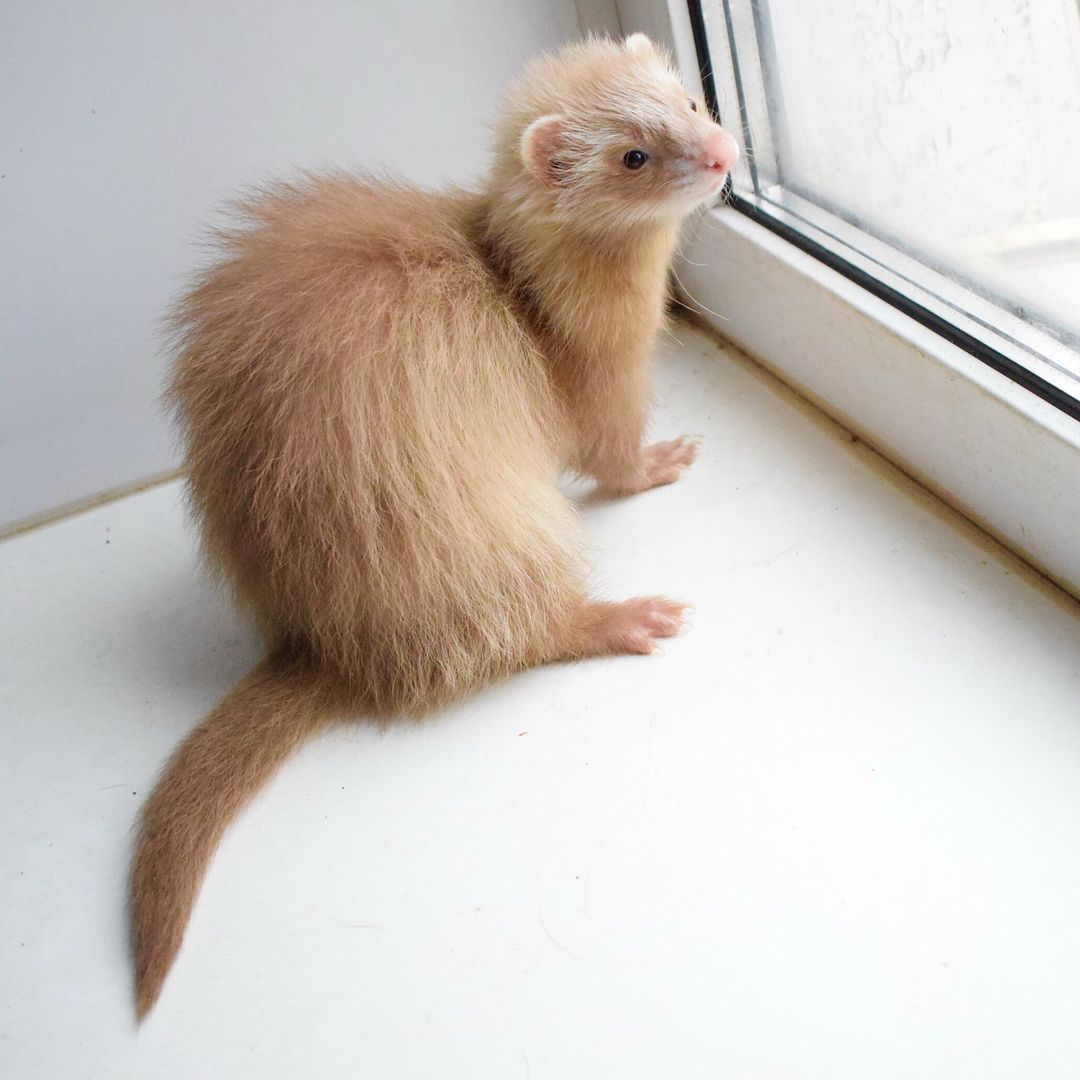 201 Likes 4 Comments Happy Ferret Ferrethappy On Instagram