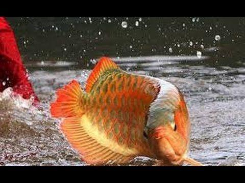 Arowana Natación y apareamiento Underwater  increíble pescado Cría