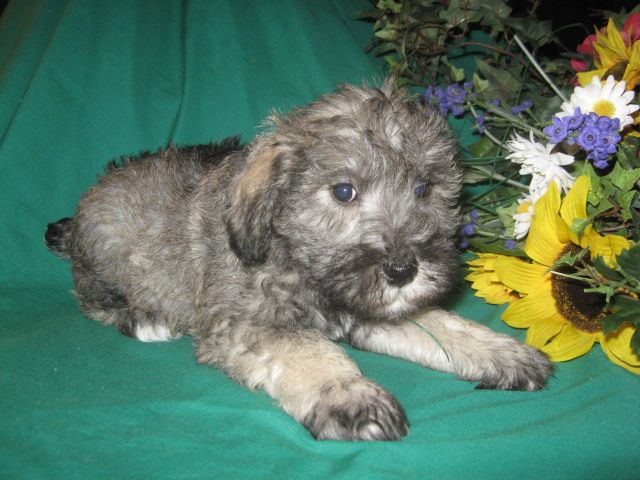 Schnoodle Puppy Adorable Little Puppy First Generation Mix Of A Pure Bred Miniature Poodle And A Pure Bred Miniature Schnoodle Puppy Little Puppies Schnoodle